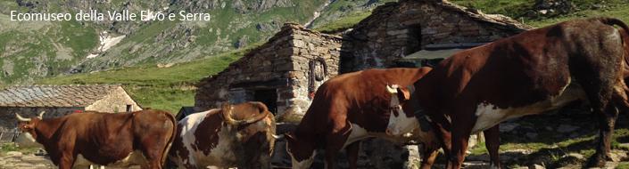 09_vacche_Valle Elvo