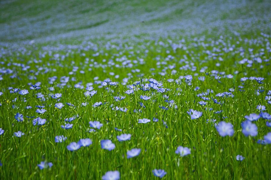 campo di lino in fiore
