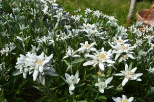 coltivazione di stelle alpine
