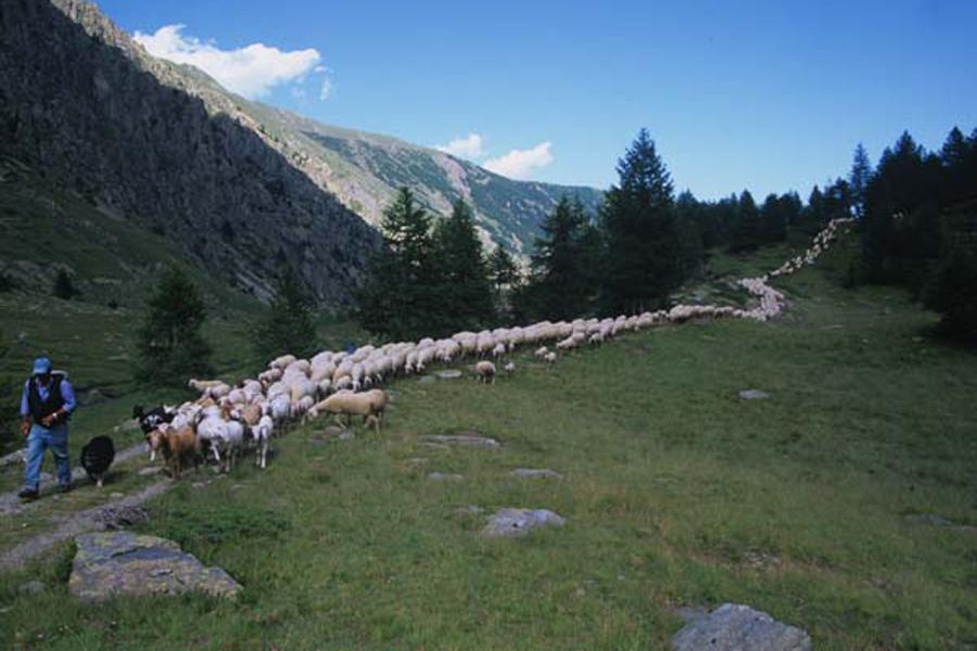 discesa del gregge di pecore sambucane dall'alpeggio dell'Ischiator in alta Valle Stura