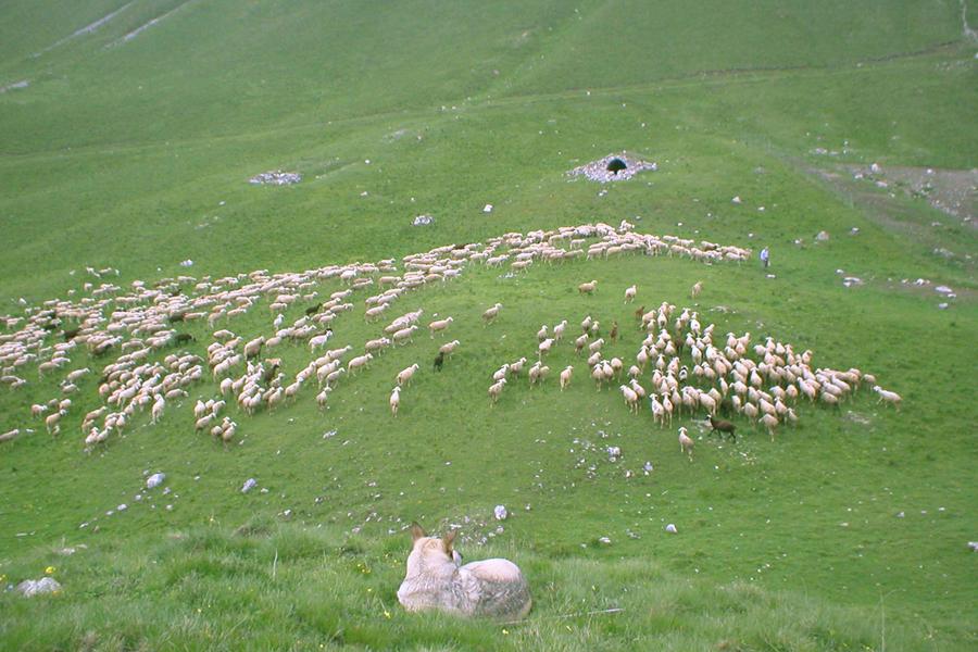 gregge di pecore sambucane raccolto per la distribuzione del sale nei pressi di un antico riparo in pietre