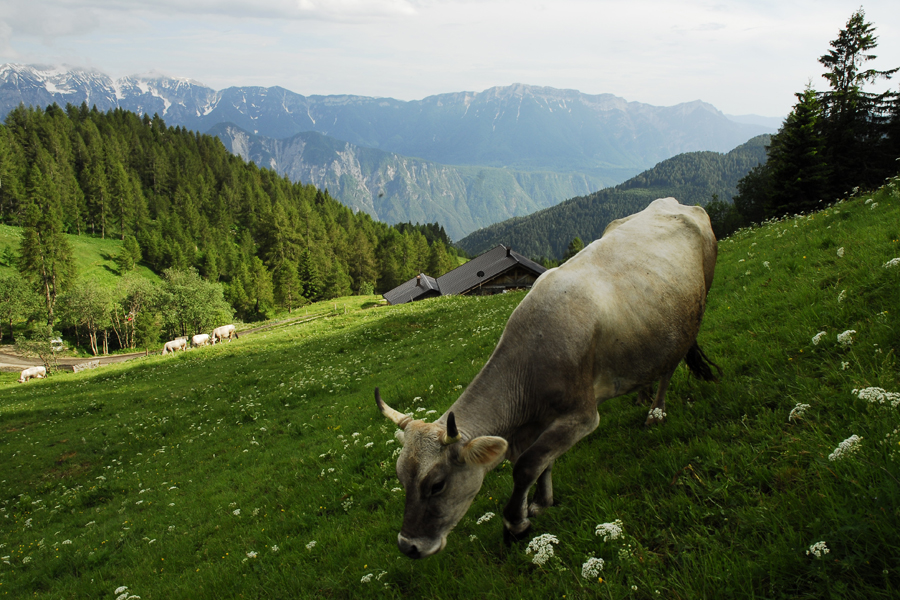grigio alpina a Malga Fravort
