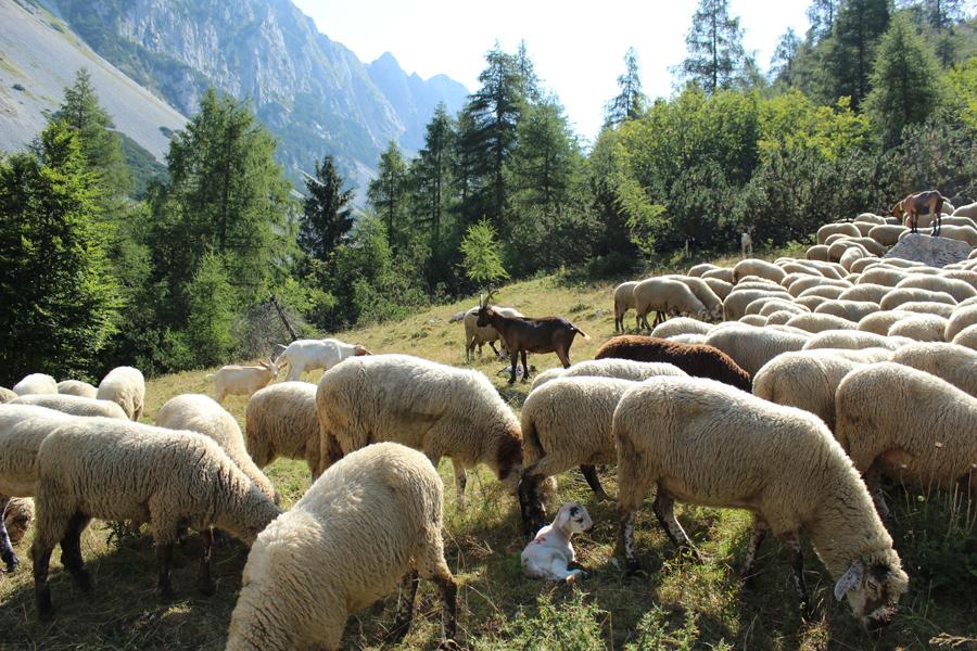 gregge di razza d'Alpago [foto Stefano Sanson]