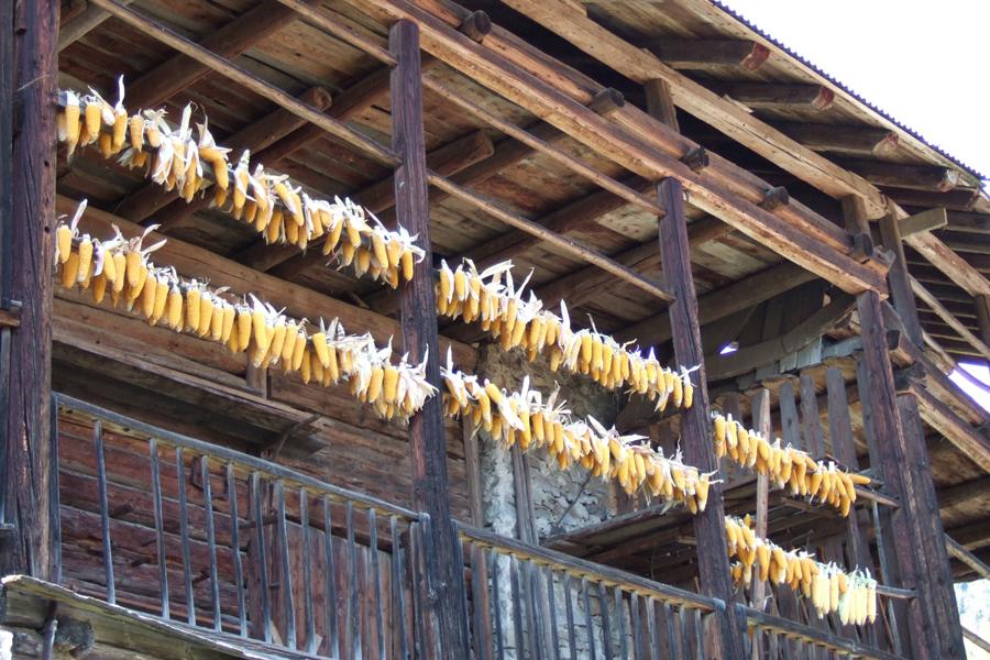 mazzi di mais dorotea esporti sui graticci a Zortea