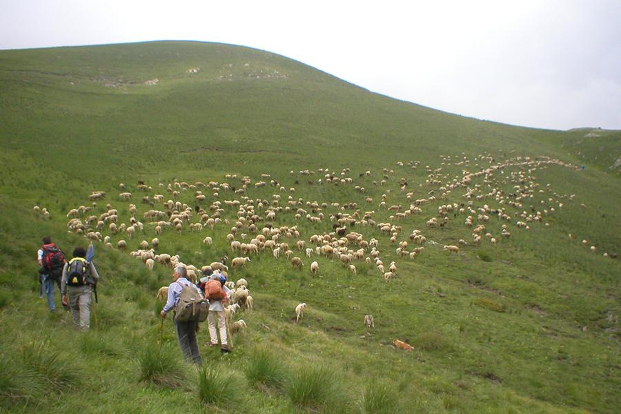 partenza del gregge di pecore sambucane per l'alpeggio estivo della Montagnetta