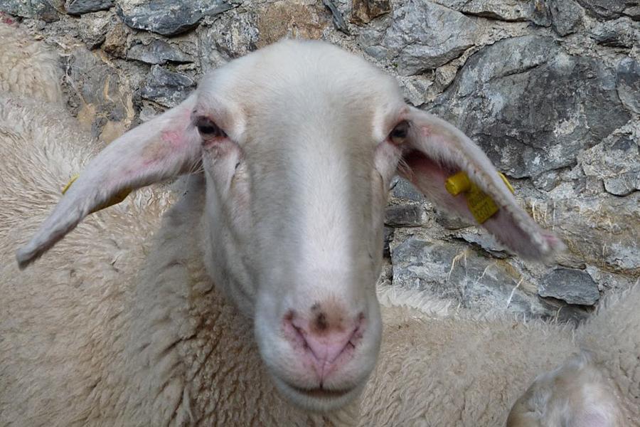 pecora di razza sambucana