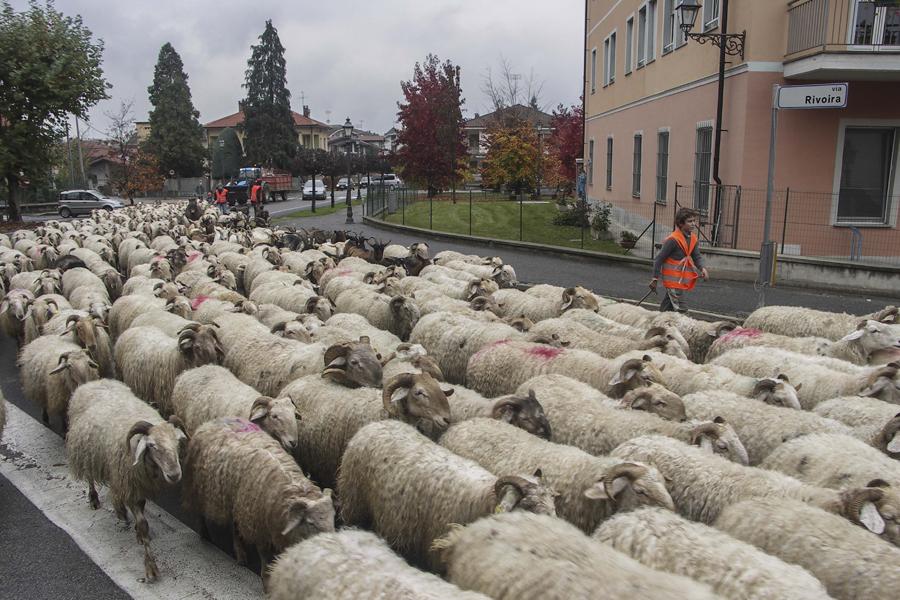 pecore di razza locale frabosana nella discesa dall'alpeggio