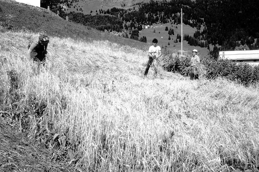 raccolta dell'orzo (foto storica)