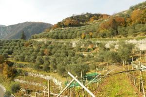 terrazzamenti coltivati con ulivi