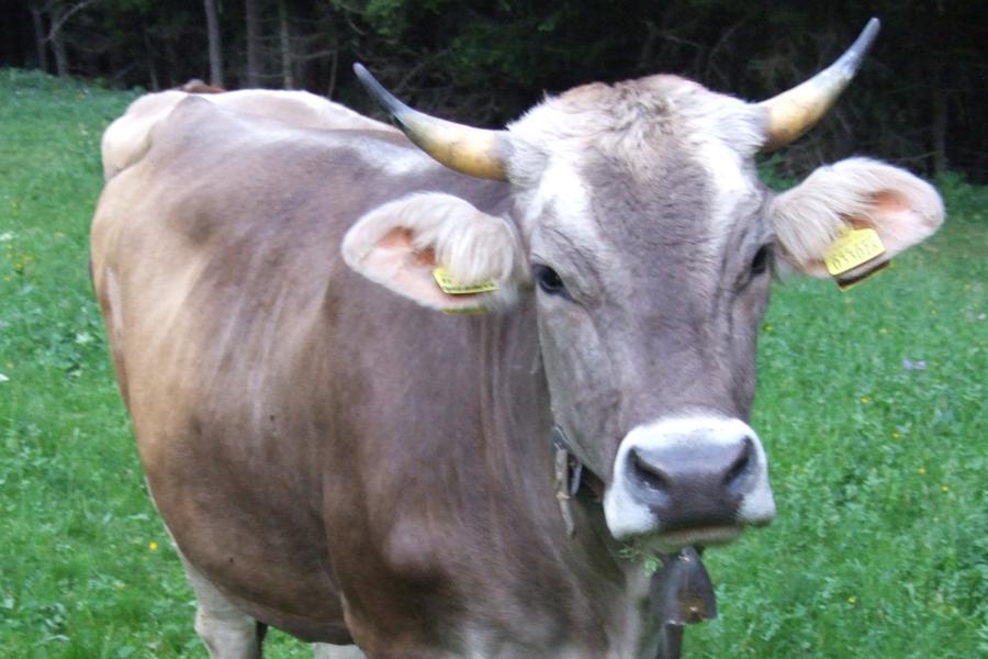 vacca di razza Bruna